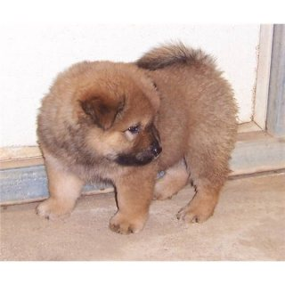 cute and adorable male and female  chow chow puppies available
