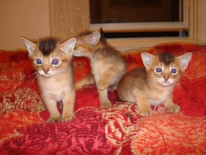 Abyssinian Kittens  Male And Female For Lovely Homes333