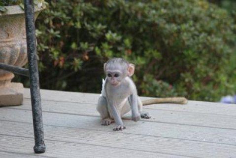Top quality baby capuchin monkeys   Top quality baby capuchin m