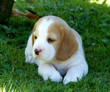 LEMON WHITE MALE AND FEMALE BEAGLES PUPPIES FOR ADOPTION