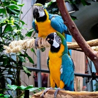 مذهل الببغاء الأزرق والذهب الببغاوات الزوجين