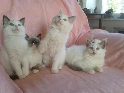 male and female Ragdoll Kittens for adoption