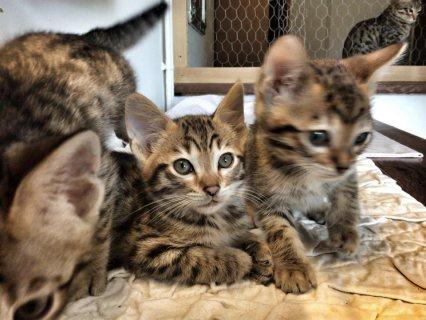 savannah F5 kitten for adoption