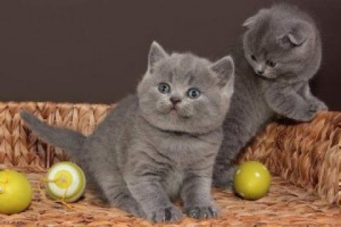 British Shorthair Kittens for adoption Contact (jasonblere9@>g>m