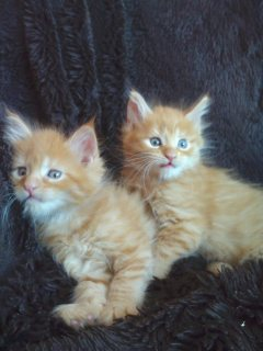 Adorable Maine Coon Kittens for Adoption