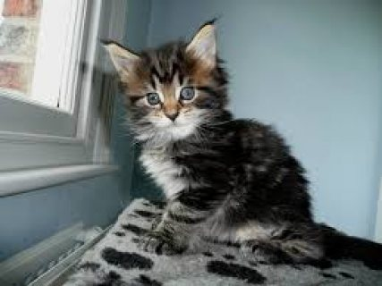Maine Coon Kittens For Rehoming 444