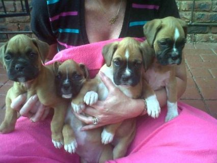 Pure Breed Boxer puppies For Adoption44
