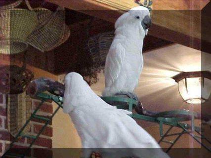Umbrella Cockatoo Parrots for rehoming33