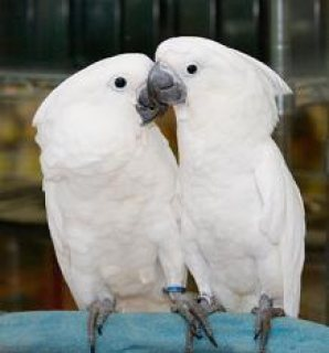 Umbrella Cockatoo For Sale( Babies also Available....