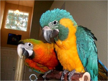 Fully weaned baby birds available ,