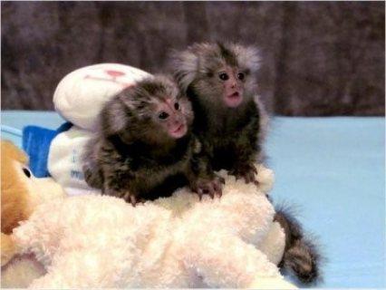 Finger Baby Marmoset Monkeys for adoption