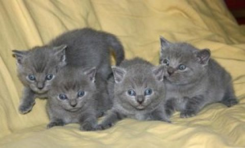 4 Russian blue kittens for sale