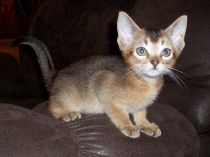 Cute Male and female Abyssinian Kittens for sale./././/.