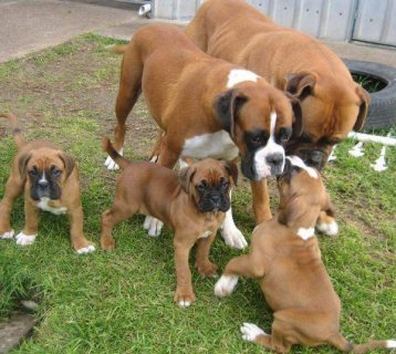 Healthy Male and female Boxer Puppies for sale