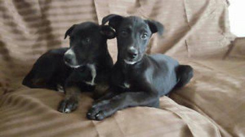 Labrador doberman puppy