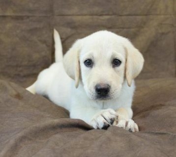 Labrador Retriever puppies ready for adoption