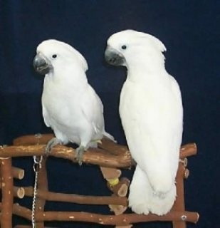 Lovely Male and Female Pair of Umbrella Cockatoos Parrots for Sa