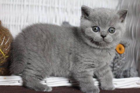 Registered British short hair kittens
