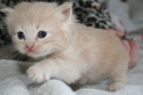 Solid Ragdoll Kittens For Adoption