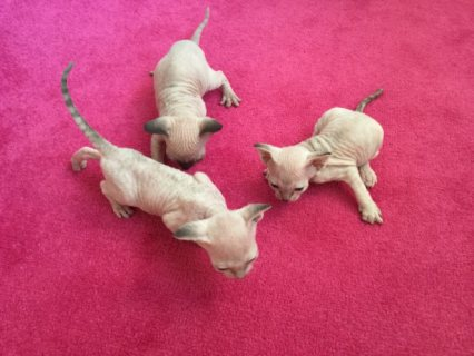 3 Canadian Sphinx Girls Available For Adoption