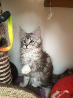 Mainecoon Kittens For Adoption