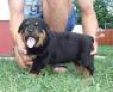 Well trained Beautiful Rottweiler puppies for Sale