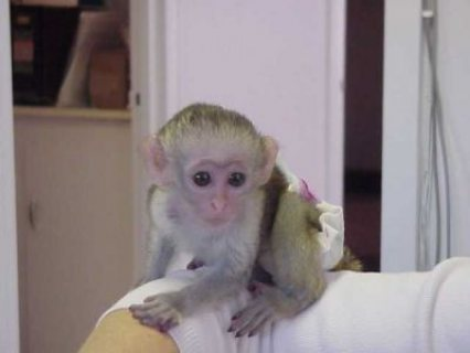 Intelligent Male and Male and Female Capuchin monkeys for Re-hom
