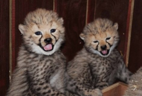 Cheetah Cubs, Cougar Cubs, Lion Cubs and Tigers Cubs For Sale