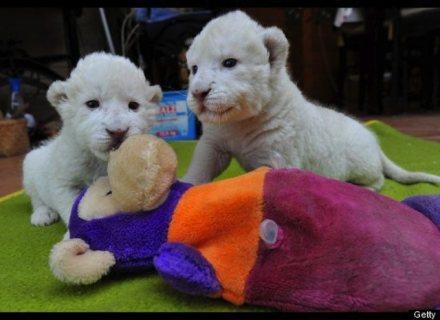 PAIR WHITE LION CUBS FOR SALE