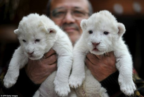EXOTIC BIG CAT CUBS FOR SALE