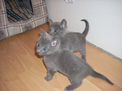 Good looking and Gorgeous Russian Blue kittens for sale