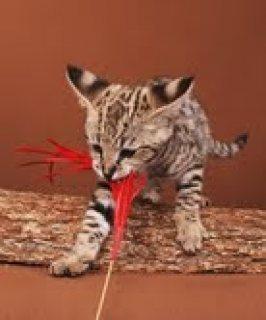 Xmas F2 TICA Reg Savannah Kitties for Adoption