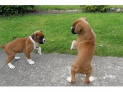 Cute Boxer Puppies available for adoption