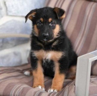 Extra Charming German Shepherd Puppies Available For Sale..,