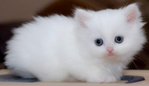Available persian kittens for re-homing...