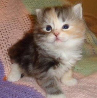 siberian kitten.. for sale.