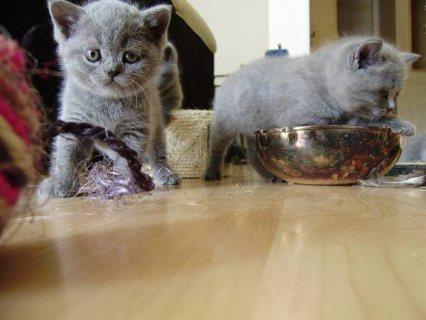 gave away British shorthair kittens