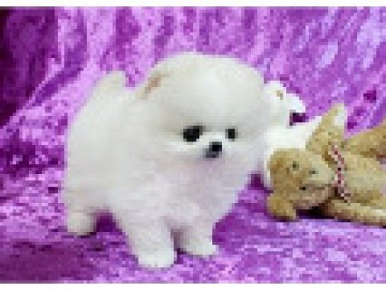 Registered pomeranian pups To Good Homes