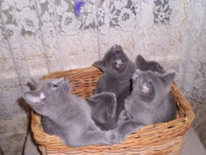 Russian Blue Kittens for sale Vaccinated, Weaned and Ready.