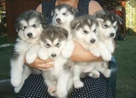 5 Beautiful Siberian Husky Pups