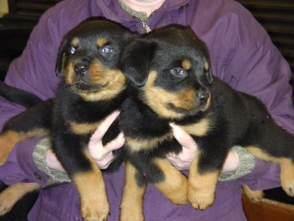 Chunky Rottweiler Male Puppy For Sale