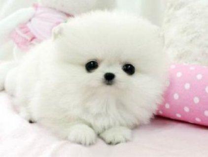 Pomchi Pups 3 Boys 1 Girl For Sale (2 Boys Left)