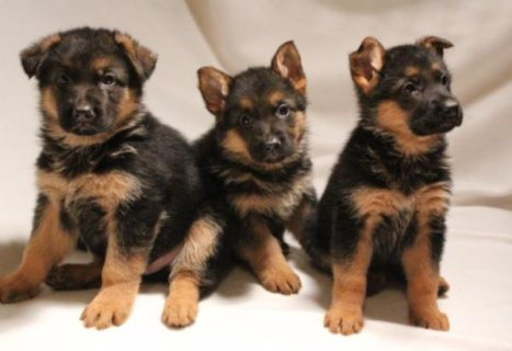 Kc Reg German Shepherd Puppies