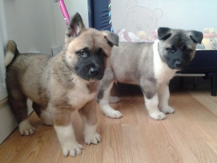 Gorgeous Akita Puppies For Sale