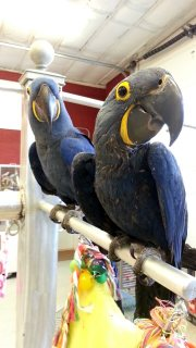 Hyacinths Macaws Parrots in pairs for a family home