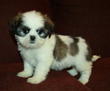 Tiny Show Quality Imperial Shih Tzu Puppies For Sale