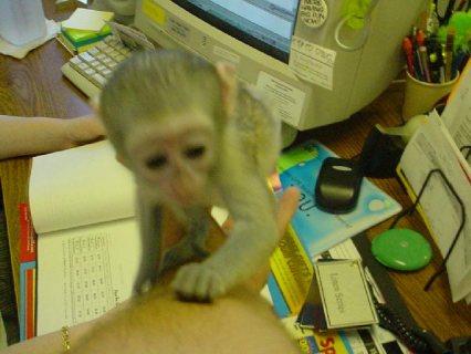 Little Noisy Capuchin Baby Monkeys Now