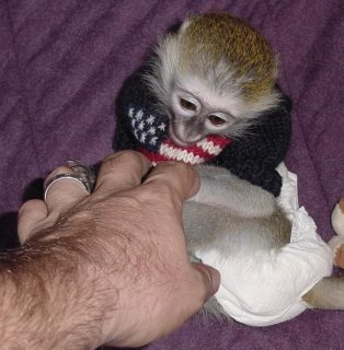 Healthy Capuchin Monkeys Now Ready!!