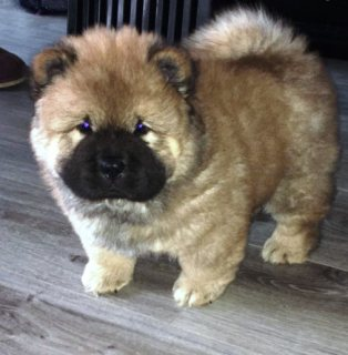 Stunning Chow Chow Pups For Sale