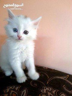 بسس..بسة..قطط..قطة..شيرازي